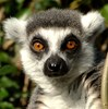 Lemur