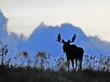 Largest Member Deer Family