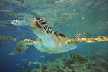 Common Green Sea Turtle
